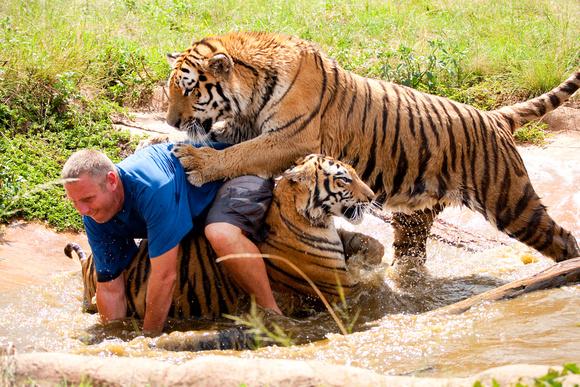 tiger no 1